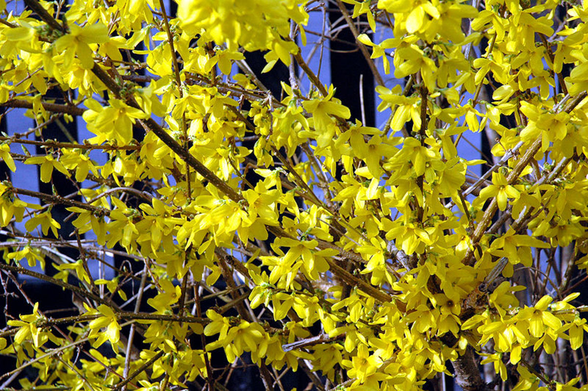 Forsythia blooms in late winter or early spring when it has no leaves on its stems.