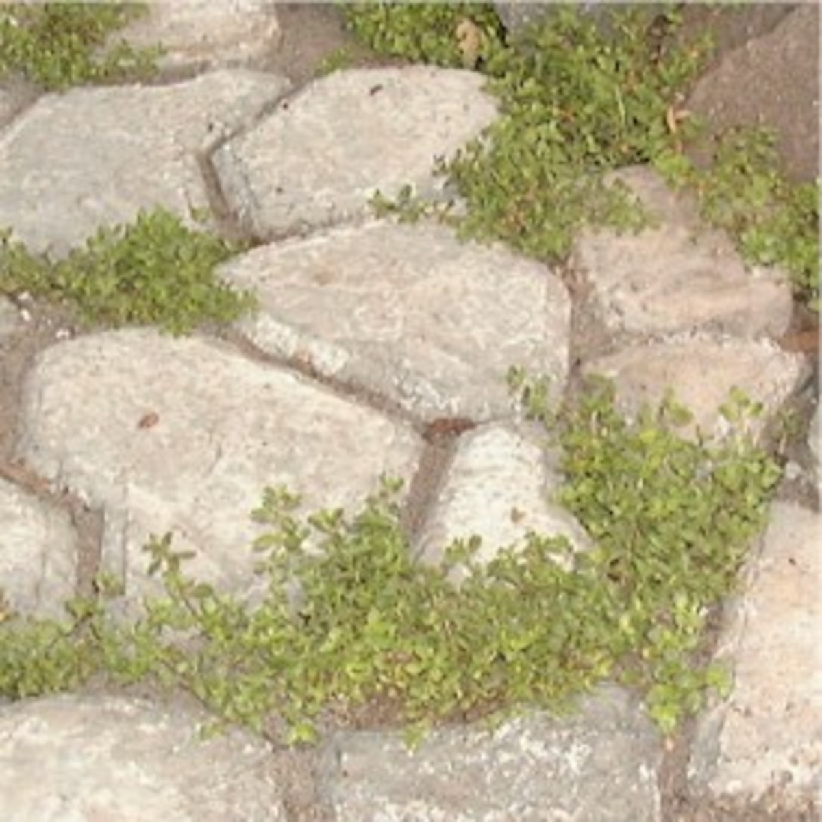 Creeping thyme growning between rocks