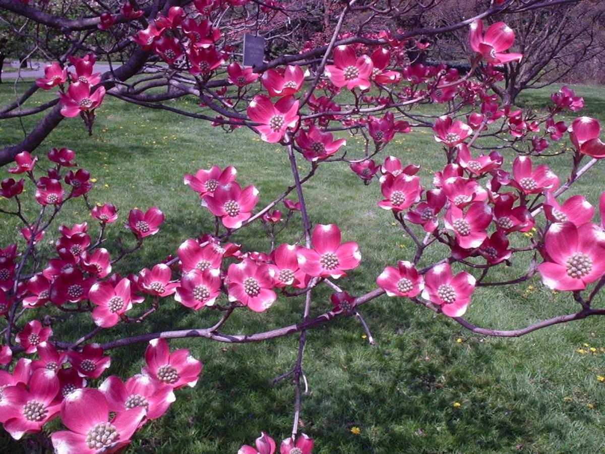 Dogwood Tree in Bloom
