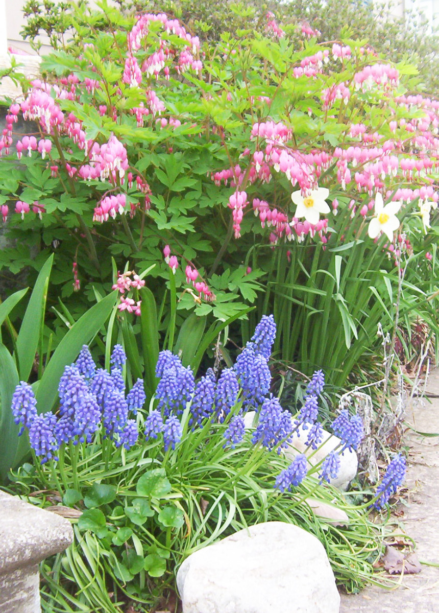 Bleeding heart in the garden with grape hyacinths.