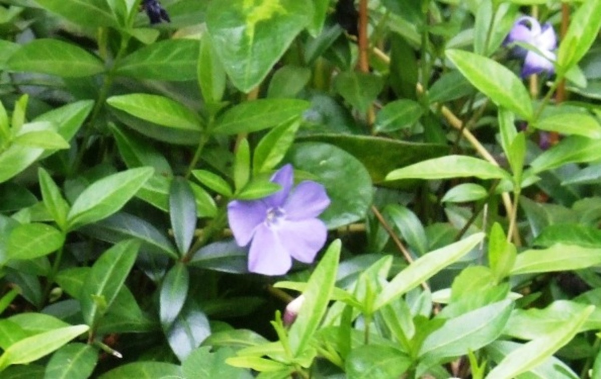 Periwinkle's blue flowers can create a field of blue.