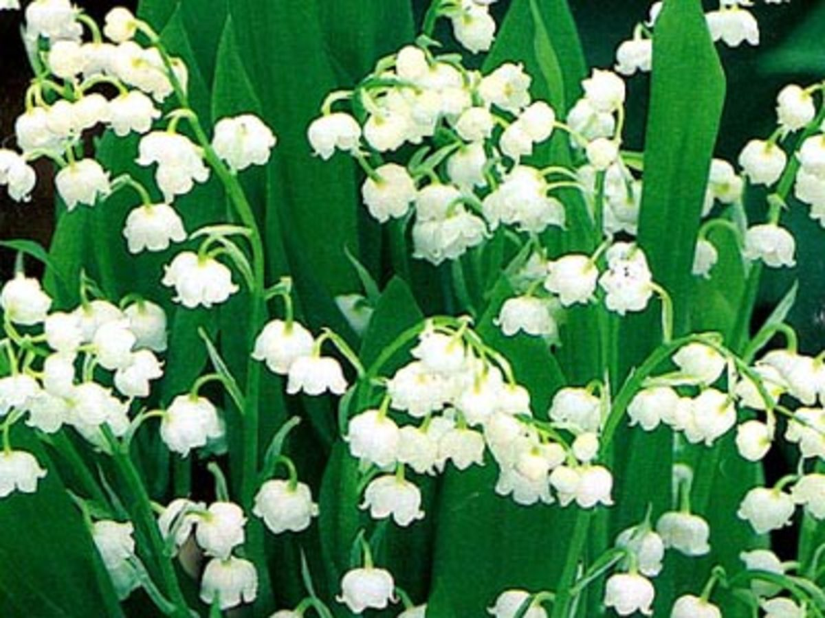 Lily of the Valley - fragrant flower for a shady spot.