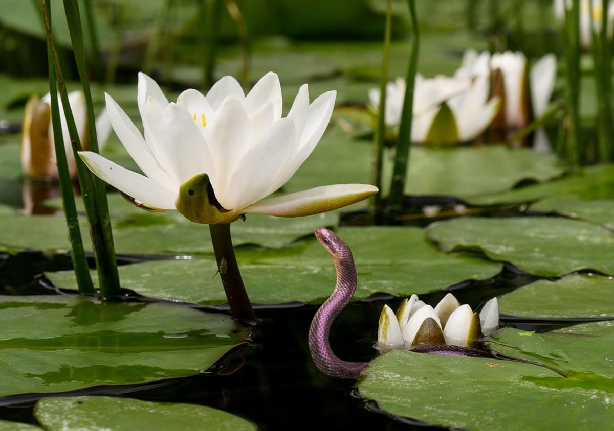 A grass snake admiring a water lily.