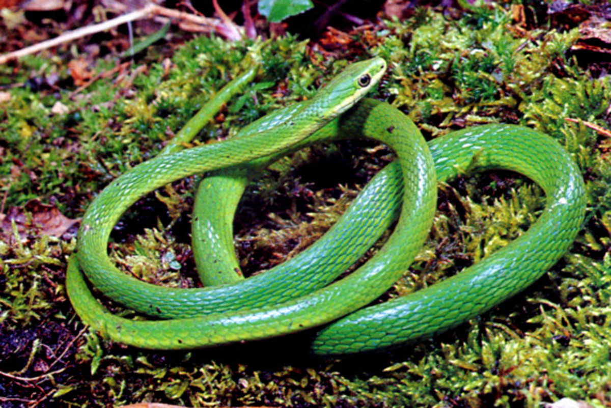 Rough green snake. Grows 2'-3' in the SE United States and is kept as a pet.