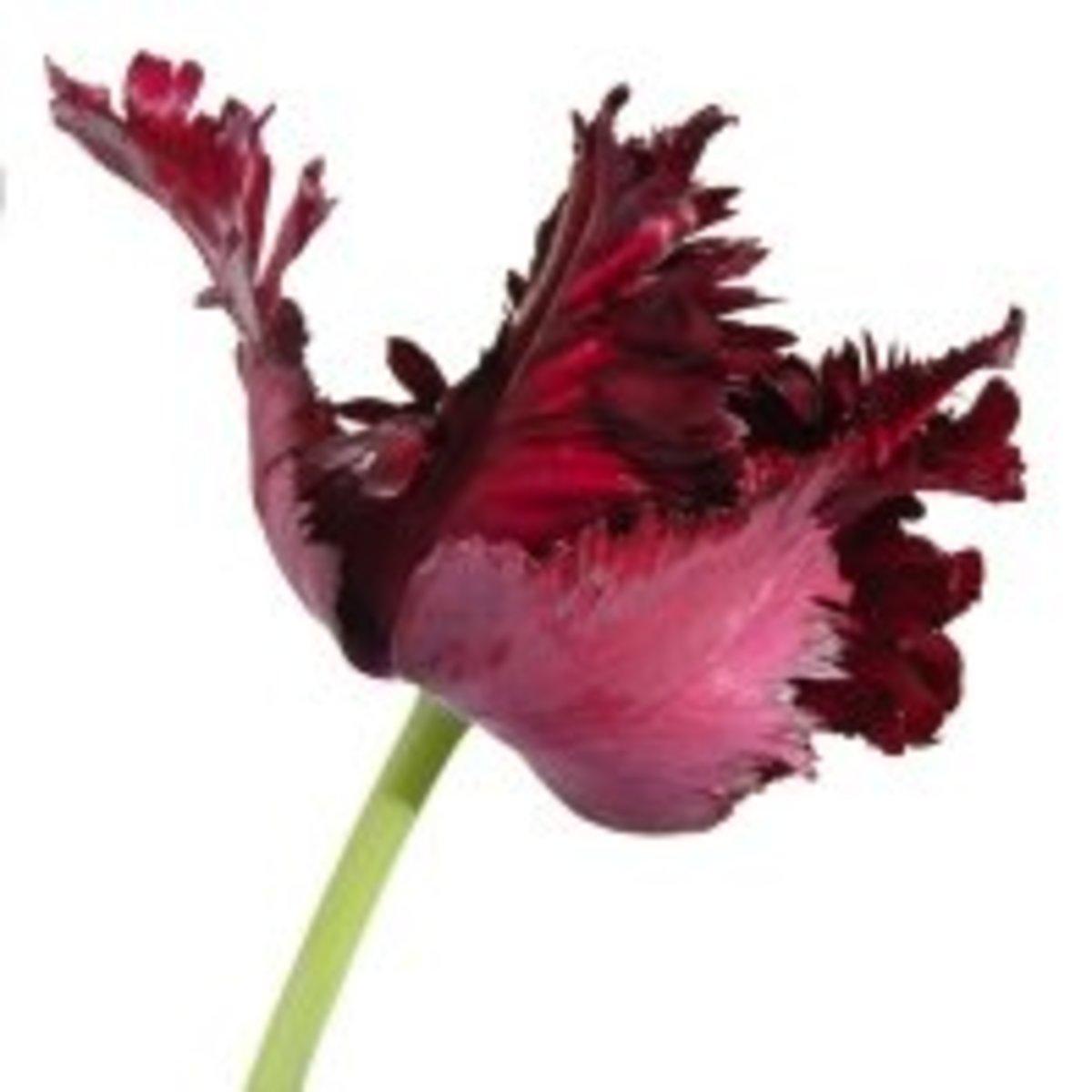 Tulip 'Black Parrot'