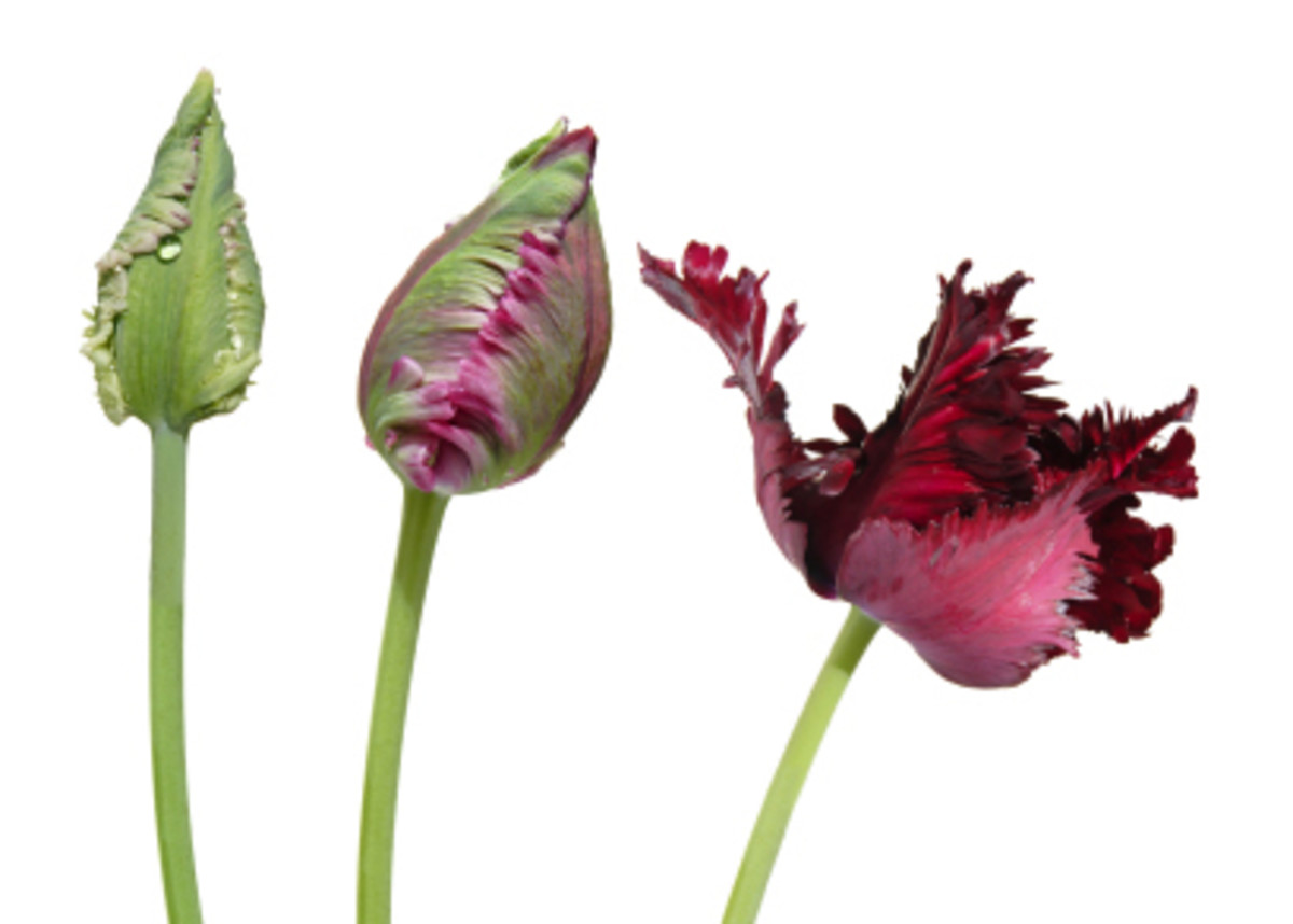 Parrot Tulip Opening