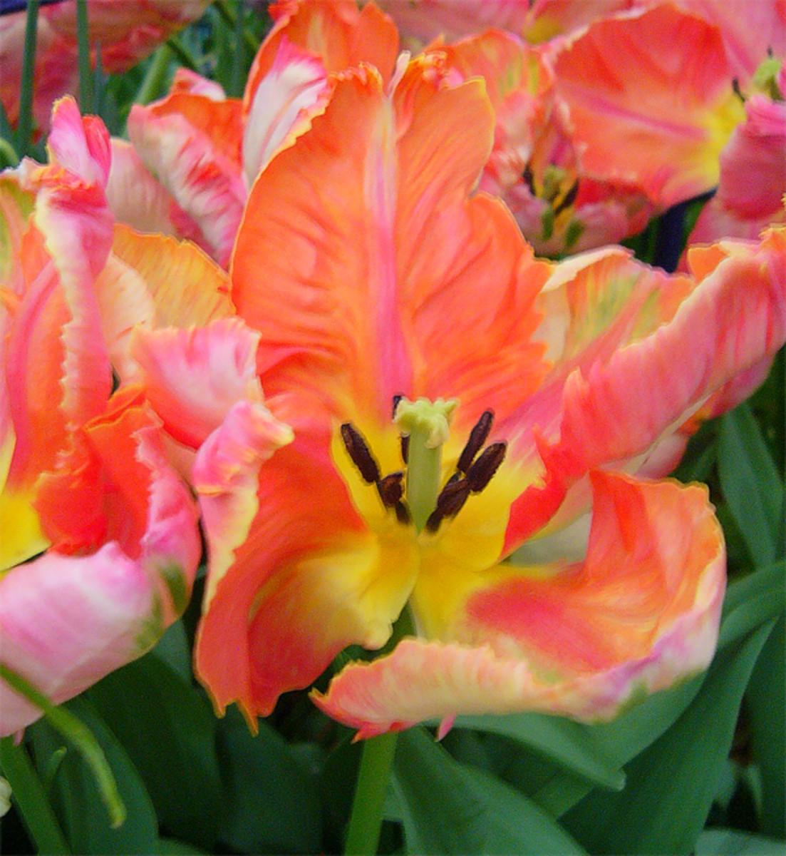 Tulip 'Apricot Parrot'