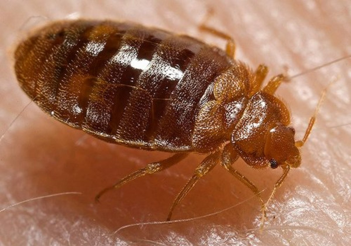 An adult bed bug up close.   (Photo by dermrounds at Flickr.com)
