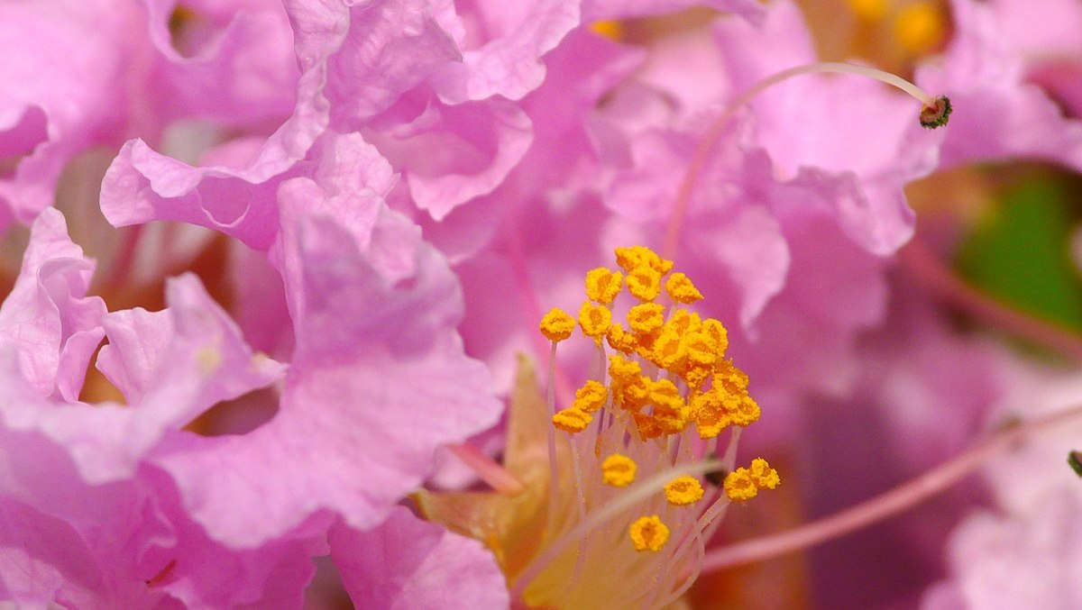 Closeup photo of crape myrtle blossom