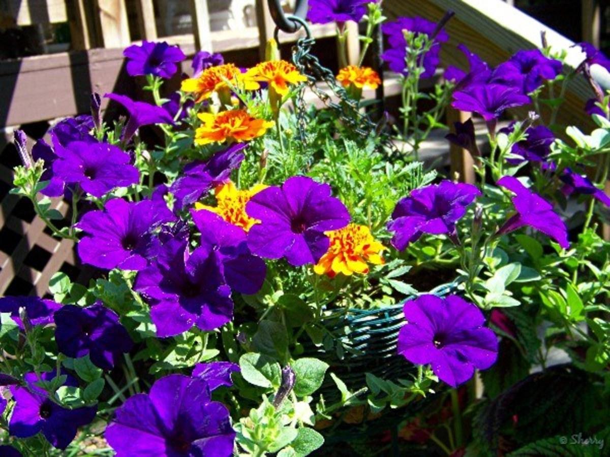 Sun-loving Purple wave Petunias (annual)