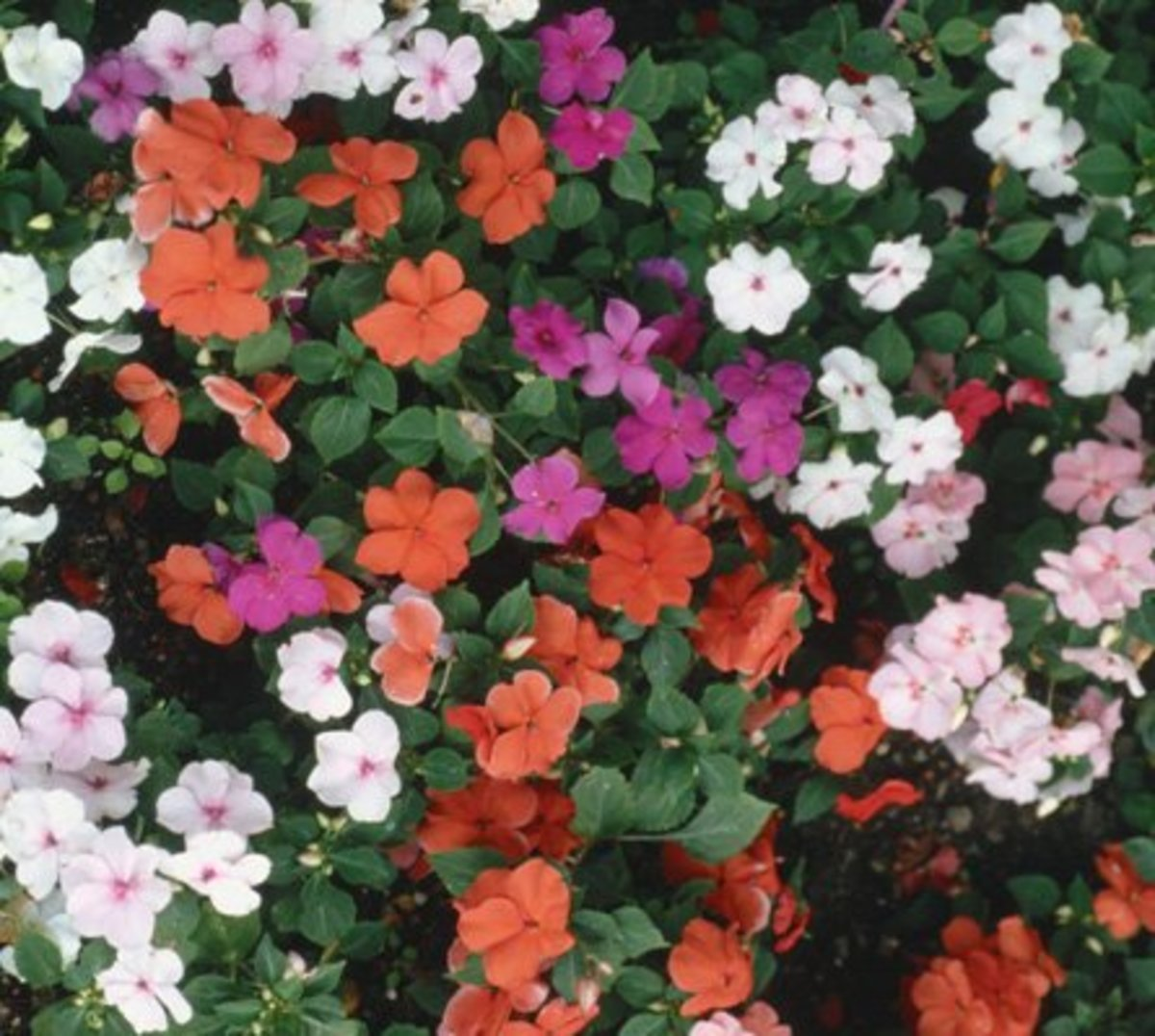 Shade-loving Impatiens (annual)