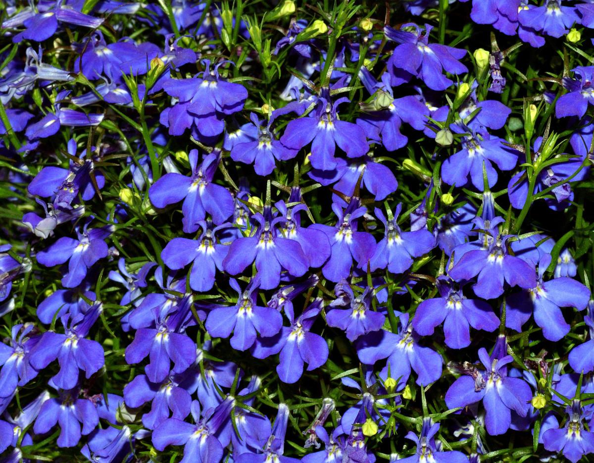 Sun-loving Blue Lobelia (annual/biennial)