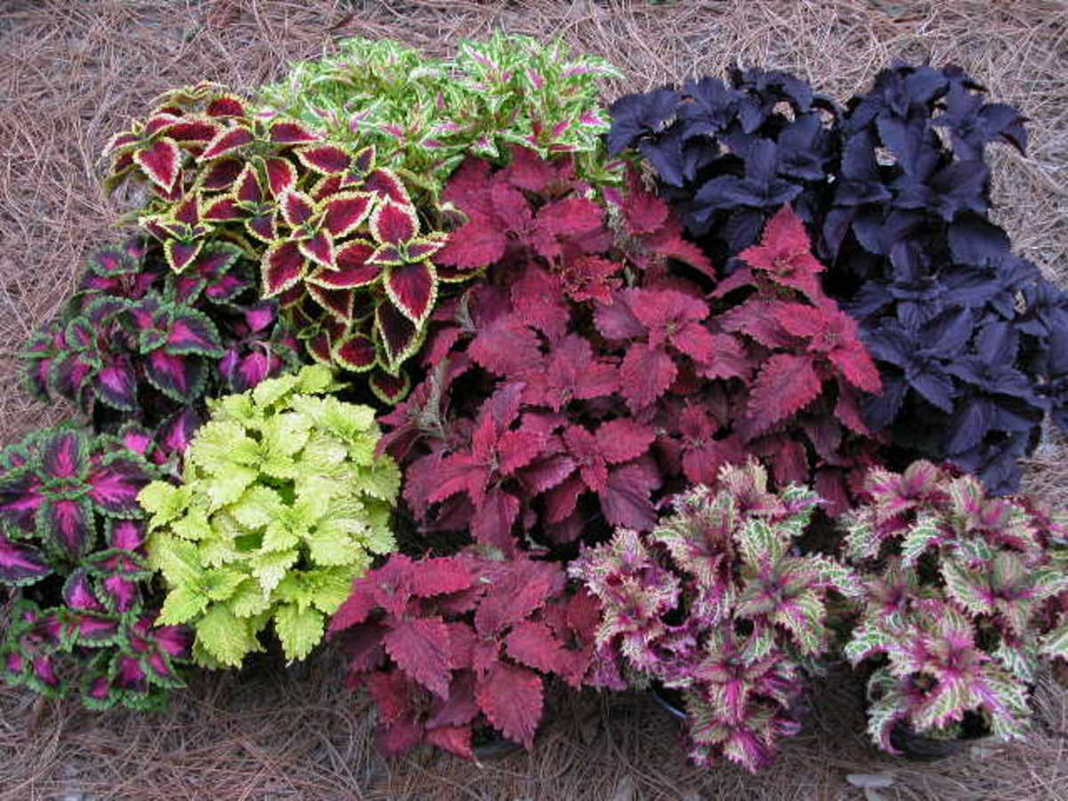 shade/partial sun Coleus, annual