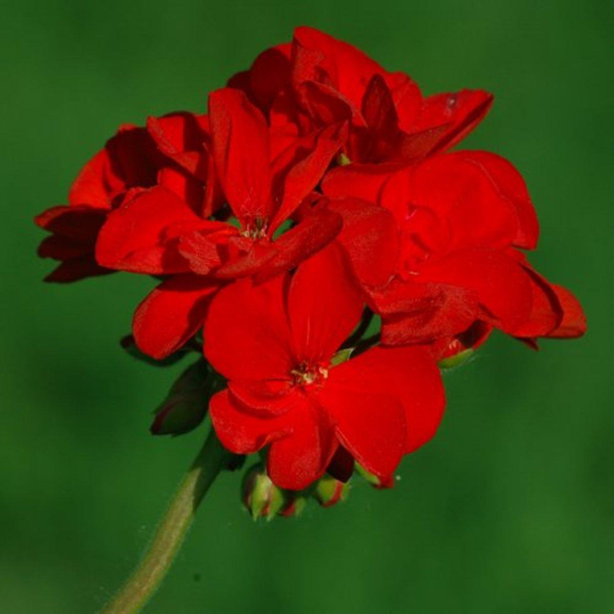 sun-loving Geranium (annual)