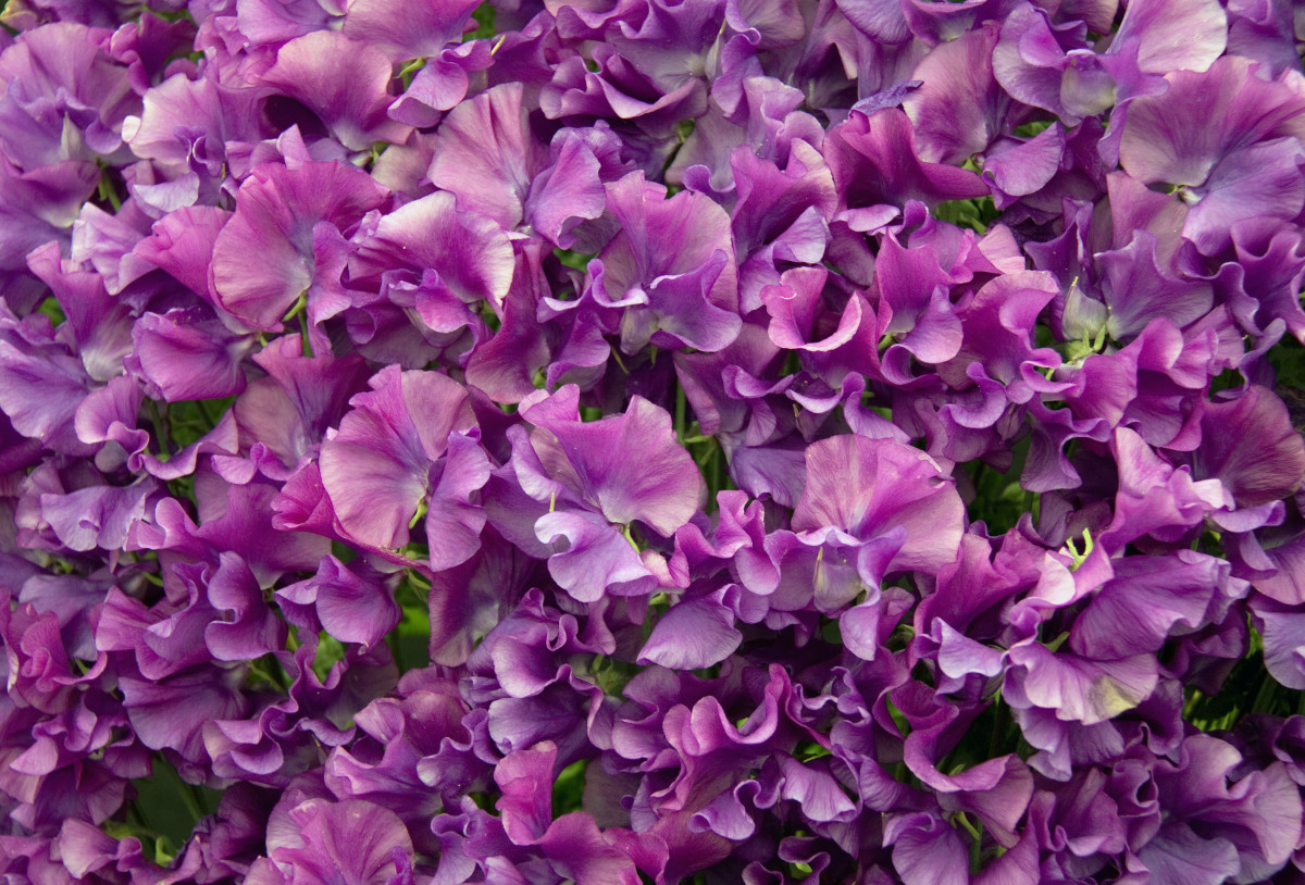 Sweet peas will climb and cover your cane structure too, providing beautiful, fragrant blooms you and your children will love.