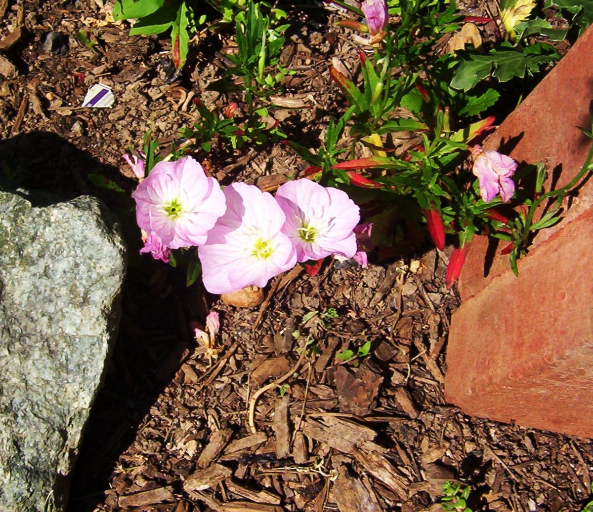 Mexican Evening Primrose (photo by Dolores Monet)