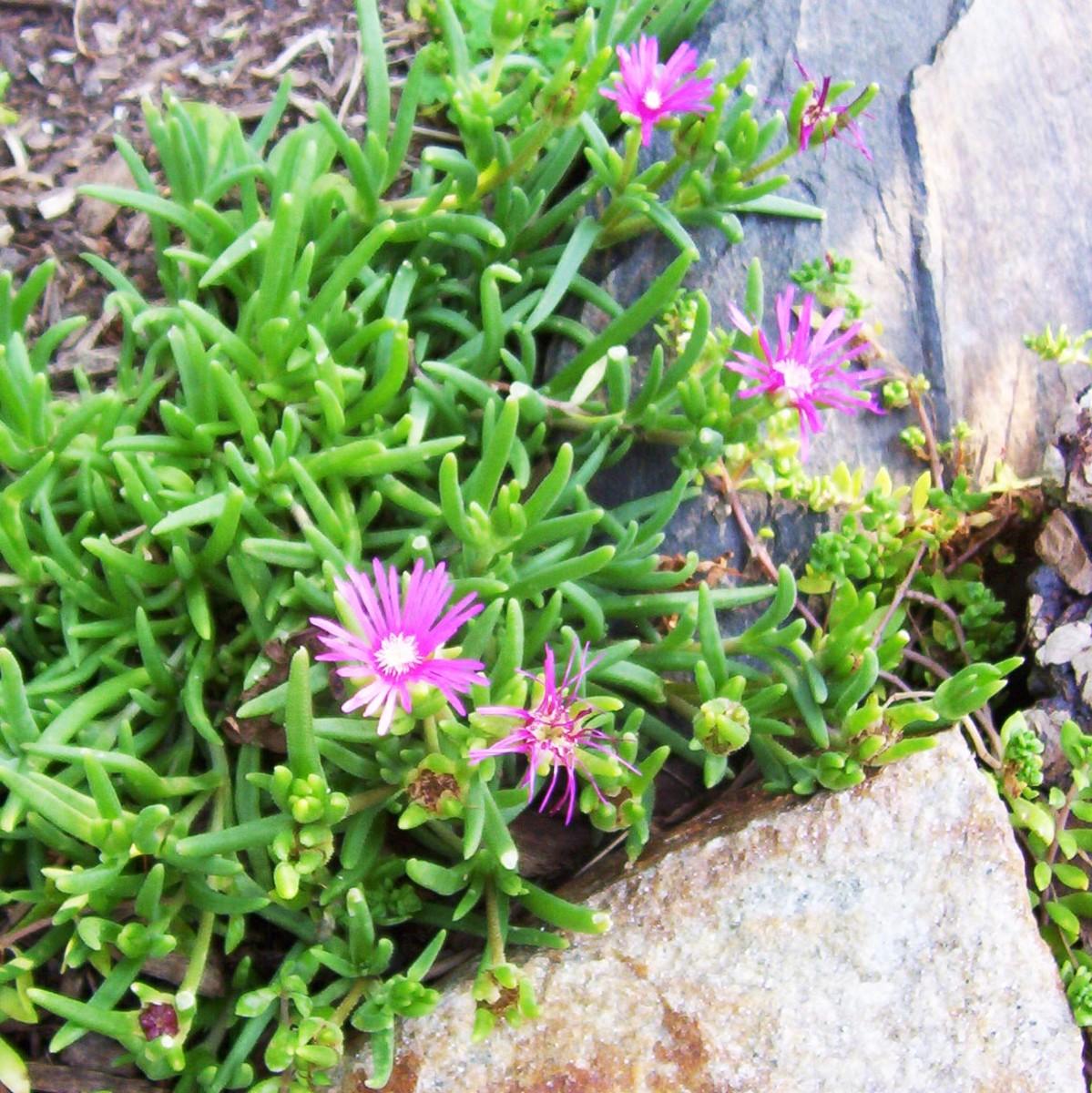 Ice plant or sedum (photo by Dolores Monet)