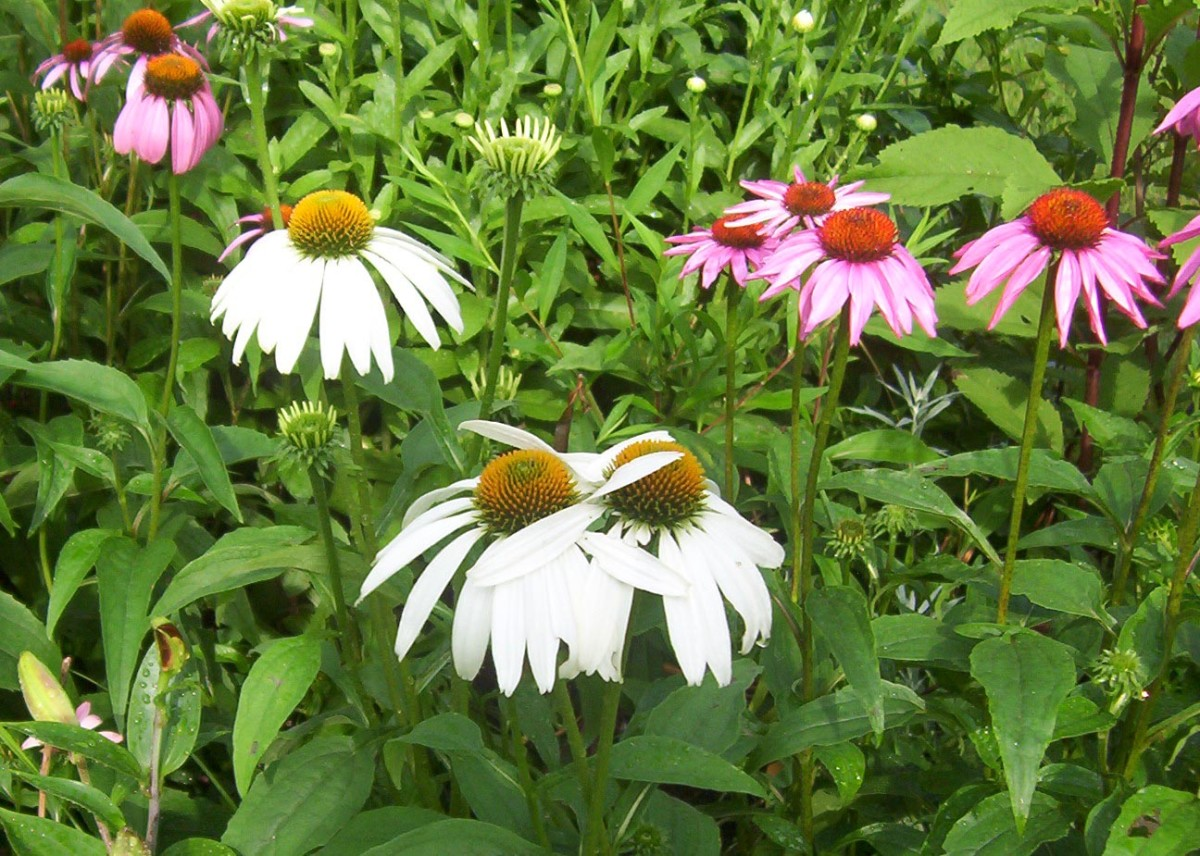 Coneflowers - white and purple