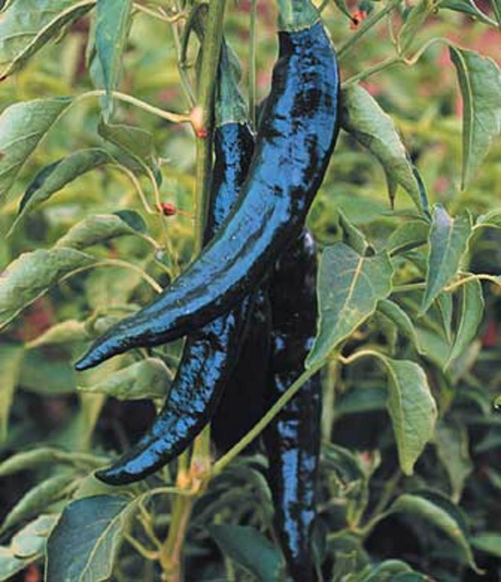 Pasilla Bajio - When fresh, this pepper is called 'chilaca;' it is also known as 'chile negro.' 8 to 10 inch long cylindrical peppers are thin walled, and dark green ripening to dark brown. They have less than 250 Scoville units.