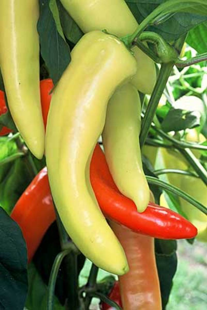 Hungarian Wax, medium-hot peppers, especially good for pickling. Canary yellow, then bright red at full maturity.