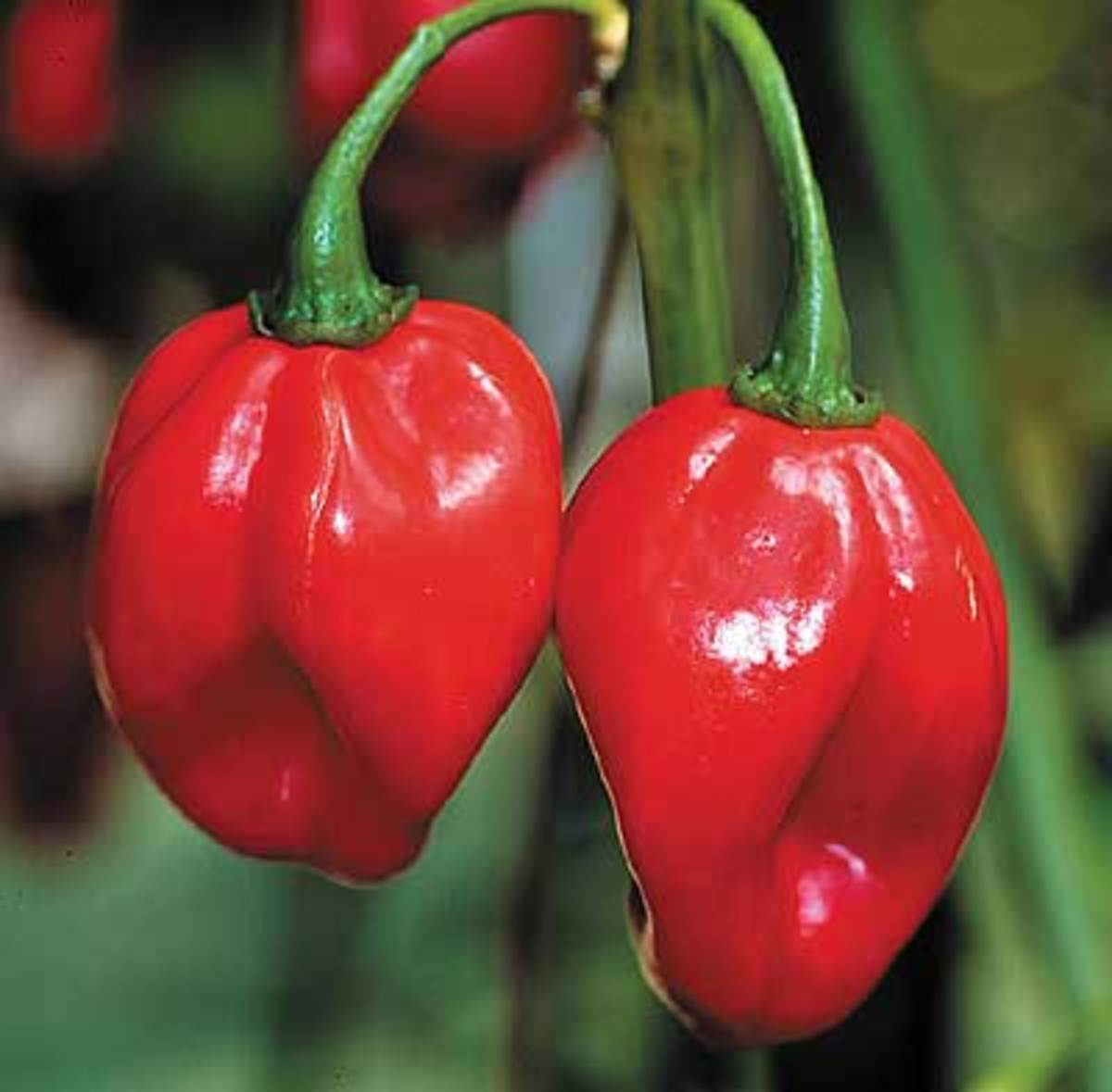 Scotch Bonnet, a capsicum very similar to habanero, but later in maturity with fruit that is not quite as long. Tall, vigorous plants bear peppers that begin as green, but mature to red. Fruity aroma and same blistering heat as the habanero.