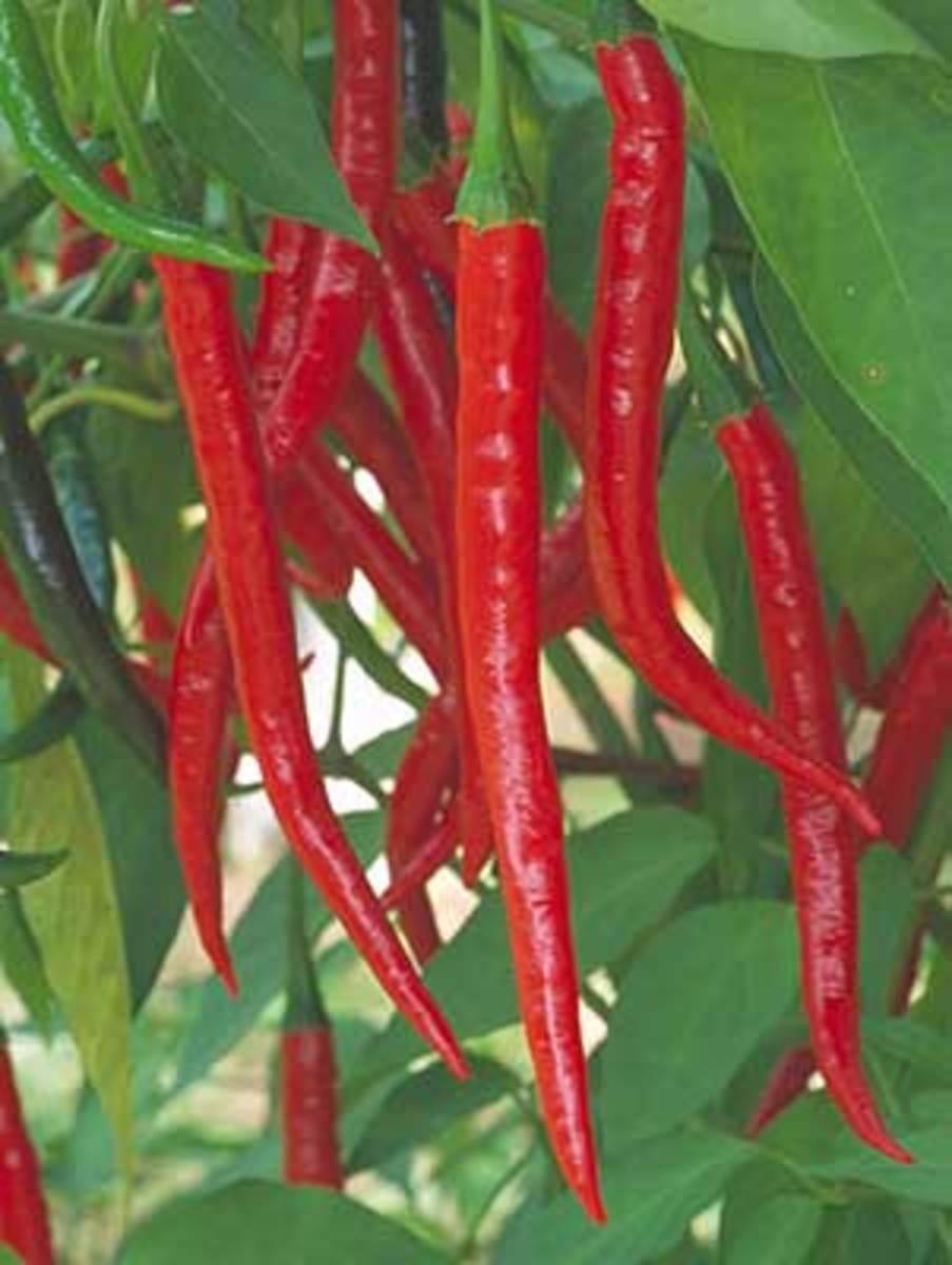 Kung Pao, Asian hot peppers just right for making Kung Pao Chicken or Asian stir-fry dishes. The tall plants are quite a sight when they become absolutely loaded with 4 1/2-inch-long, slightly curved skinny peppers that mature from green to a red.