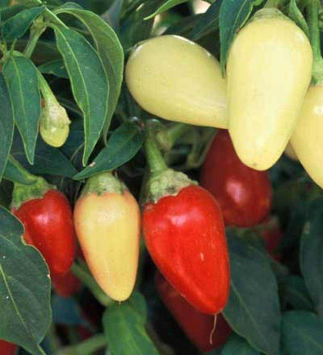 Cascabella, a favorite for pickling, this pepper is generally used in its yellow stage, but it will turn red when left on the plant. Cone shaped, 1 1/4 inch long peppers range from 1,500 to 4,000 Scoville units.