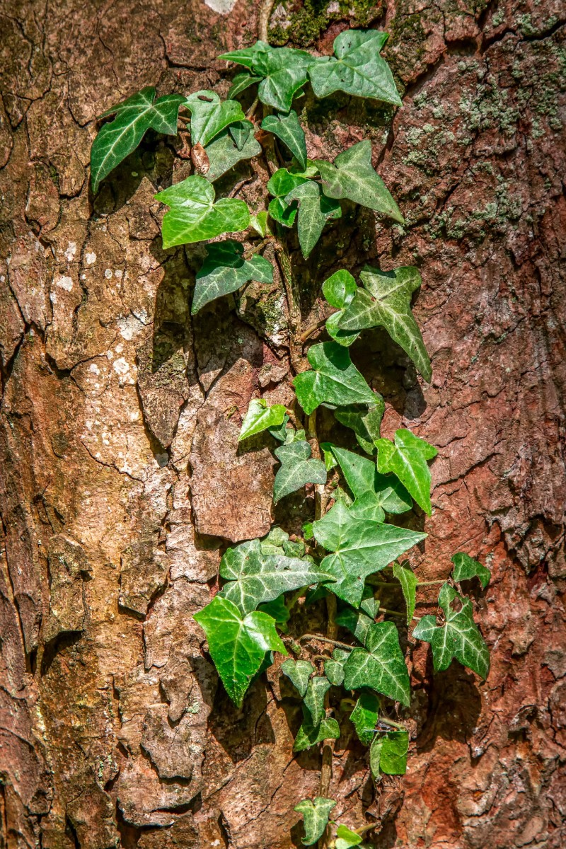 Ivy growing on a conifer tree trunk.