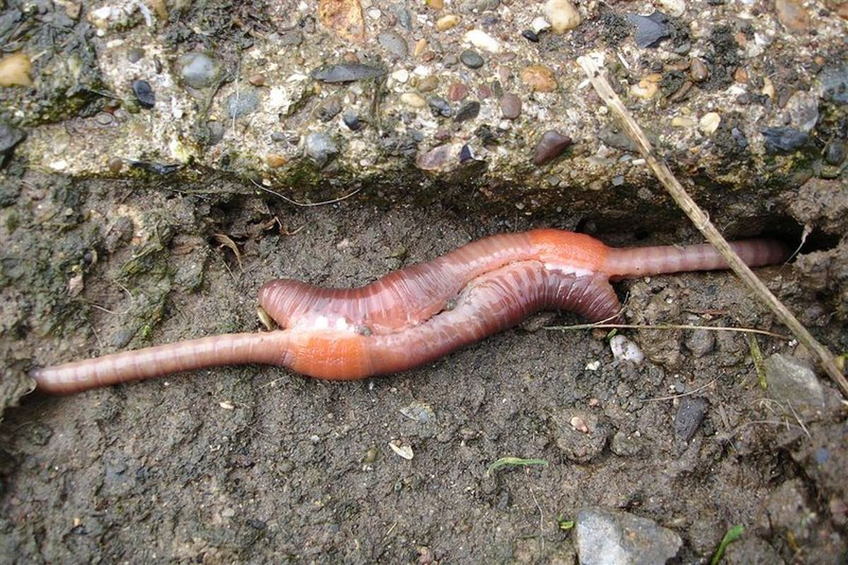 A pair Red Wiggler worms copulating