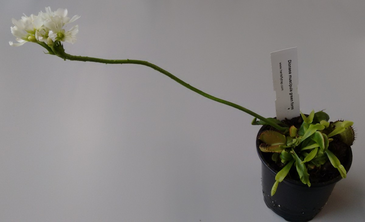 Although a Venus flytrap's flower is lovely, it often kills the plant. Pinch the flower off and the  plant can save that energy for more growth.