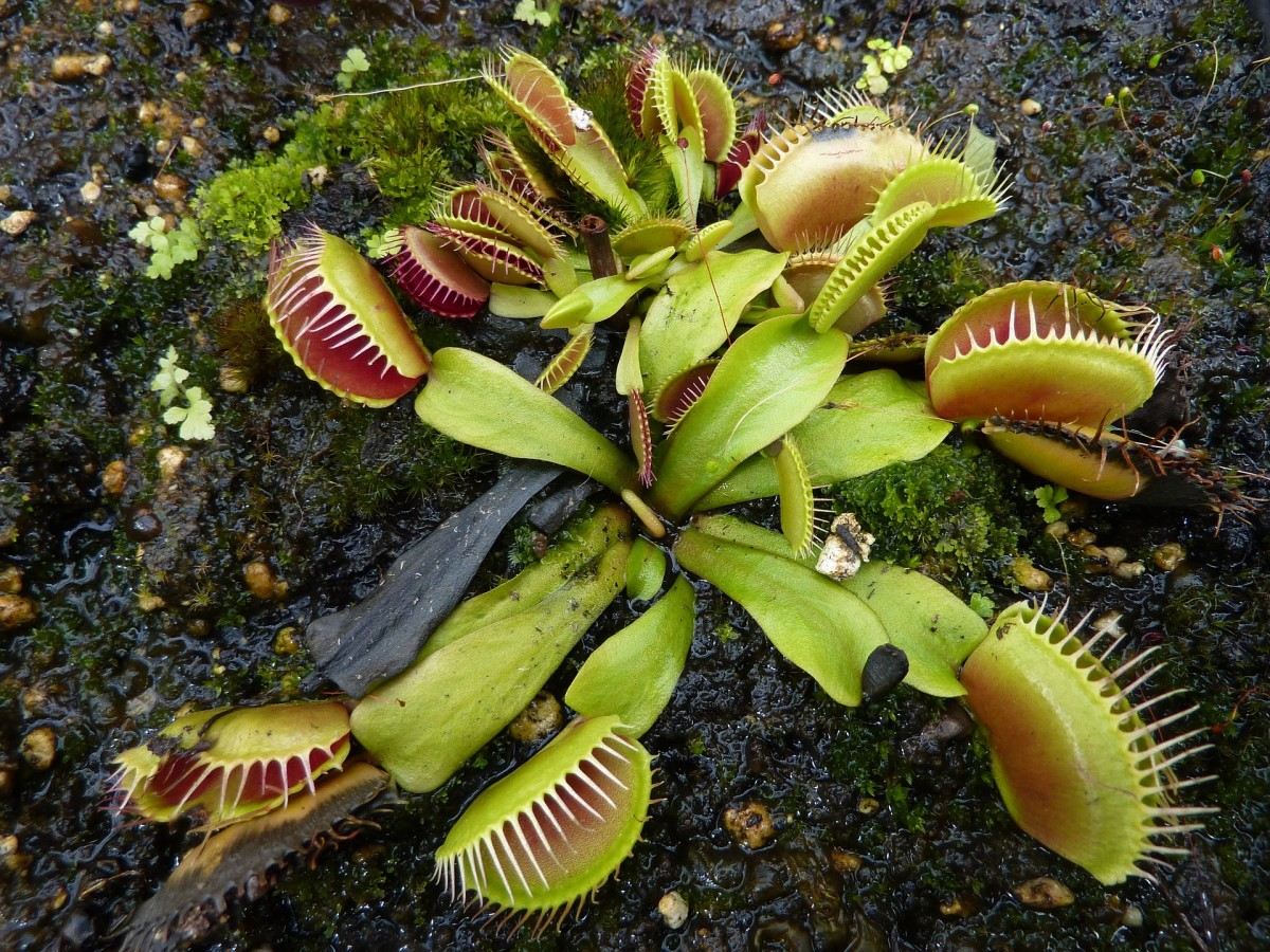 Venus flytraps are almost extinct in their native environment along the coast of North and South Carolina.