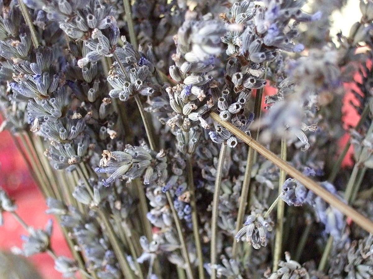 Dried lavender flowers still on the stalks.