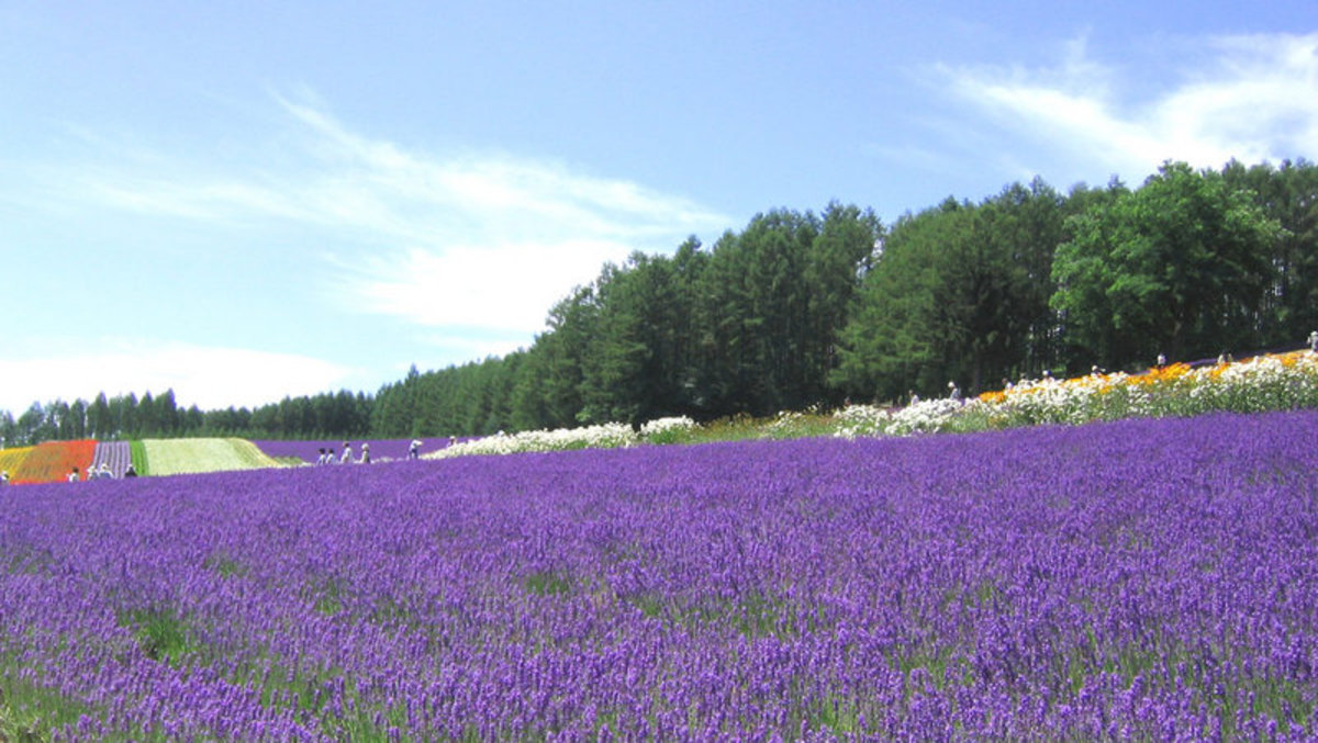A field of lavender grown commerically at a lavender farm in Spain.