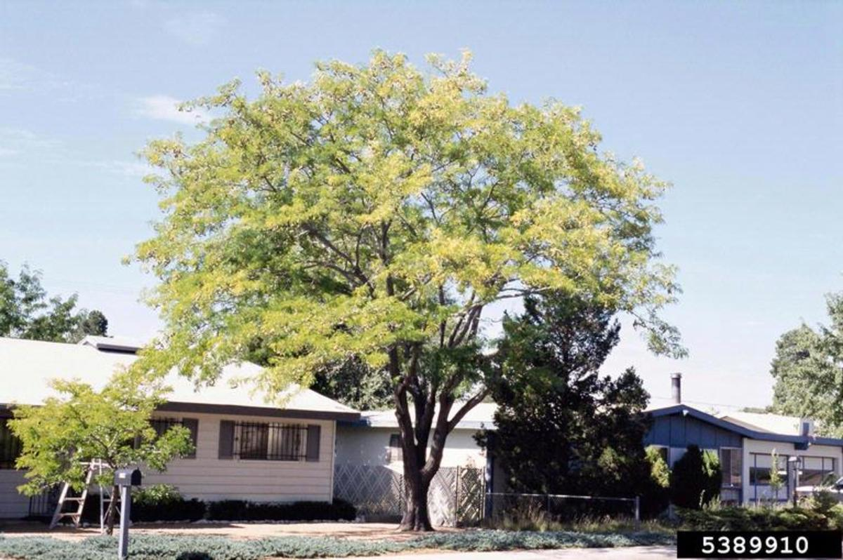 fast-growing-shade-trees