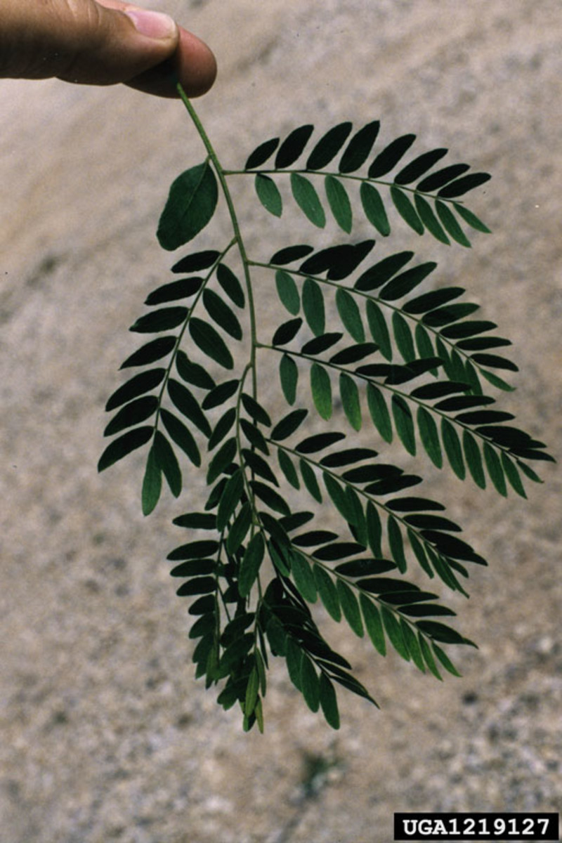 Small, non-littering leaves of the Thornless Honeylocust Tree