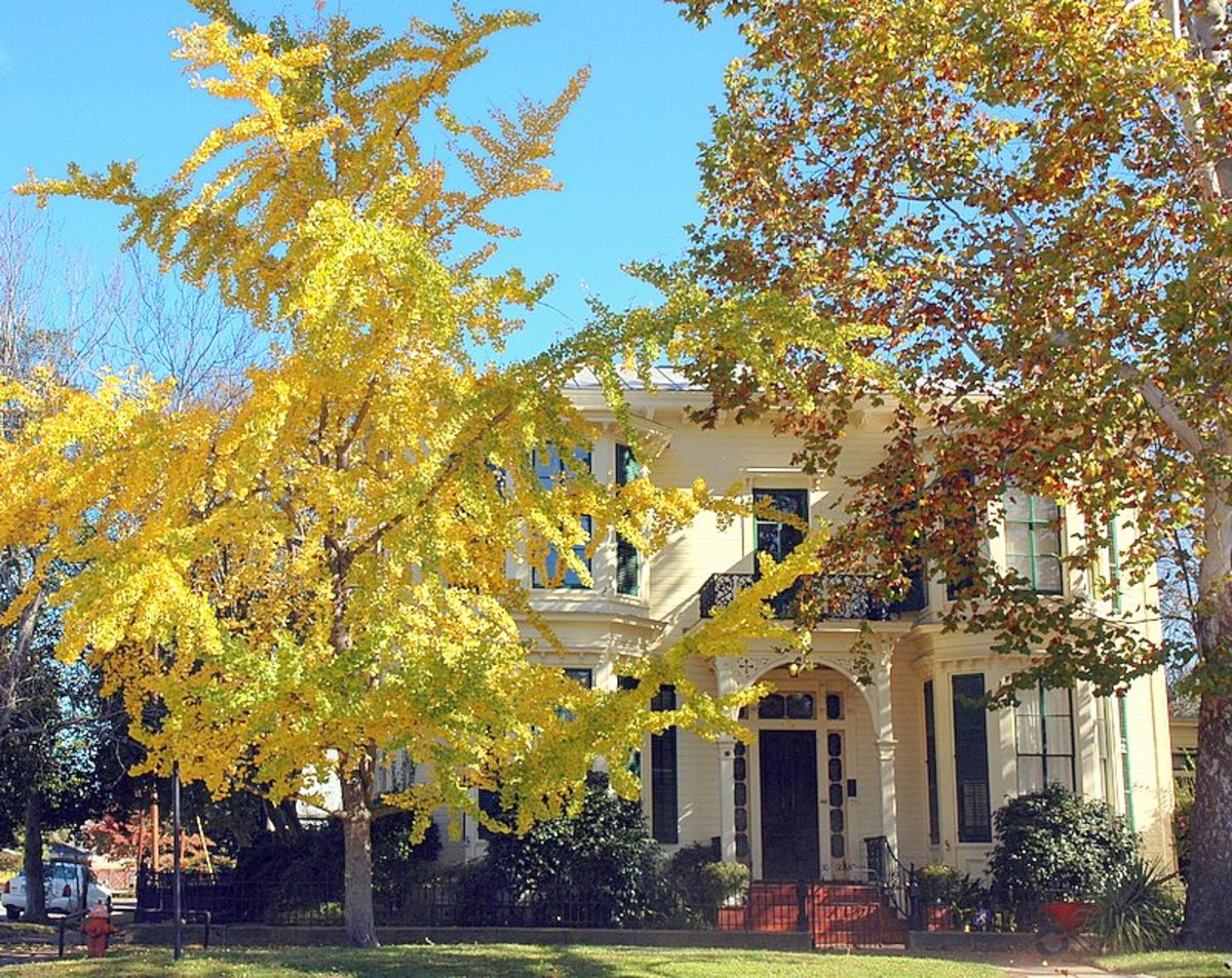 Ginkgo tree in gorgeous, golden fall color