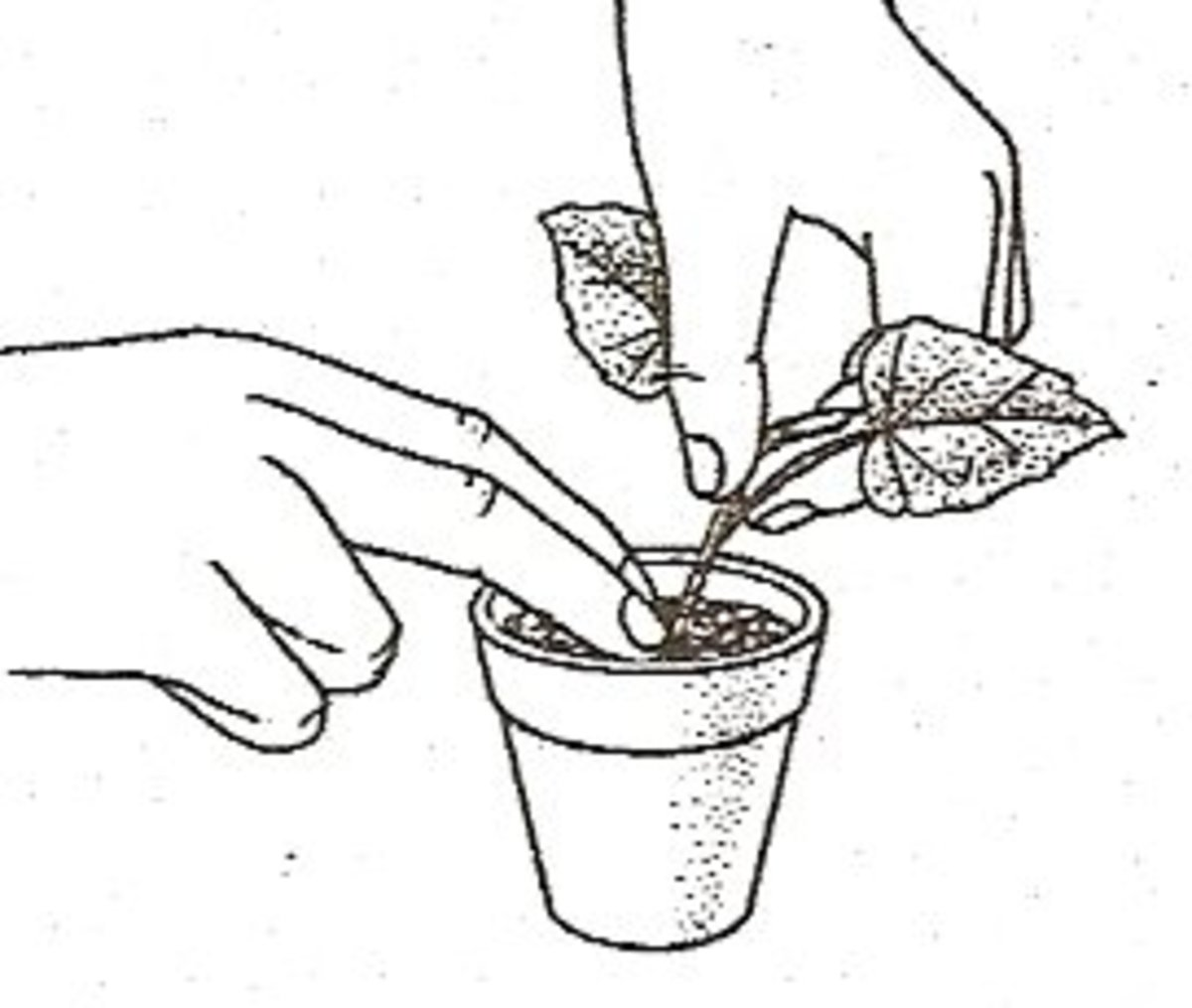 7. Insert cutting into the rooting mixture until the base of the lowest leaf stem rests on top of it.