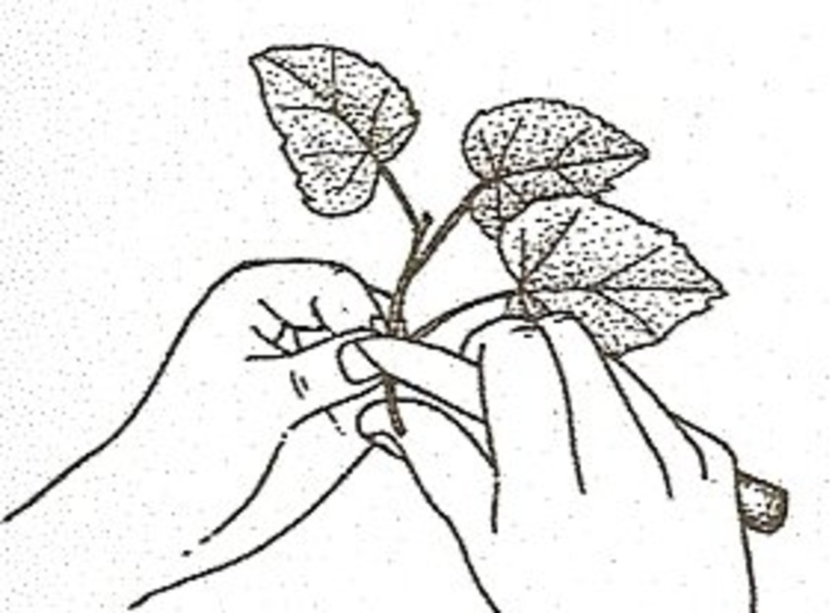 3. Prepare cutting by trimming off the end of the stem below the lowest leaf.