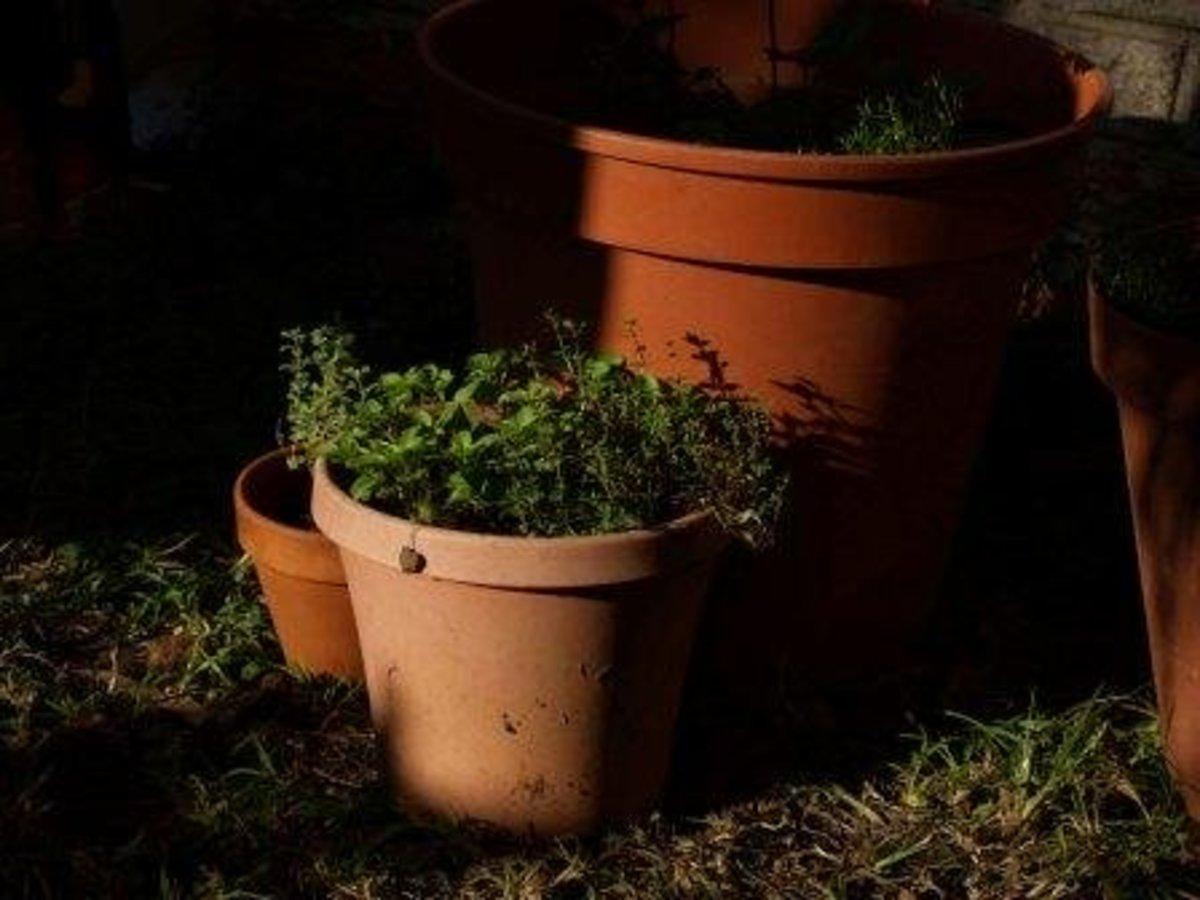 growing_herbs_in_pots