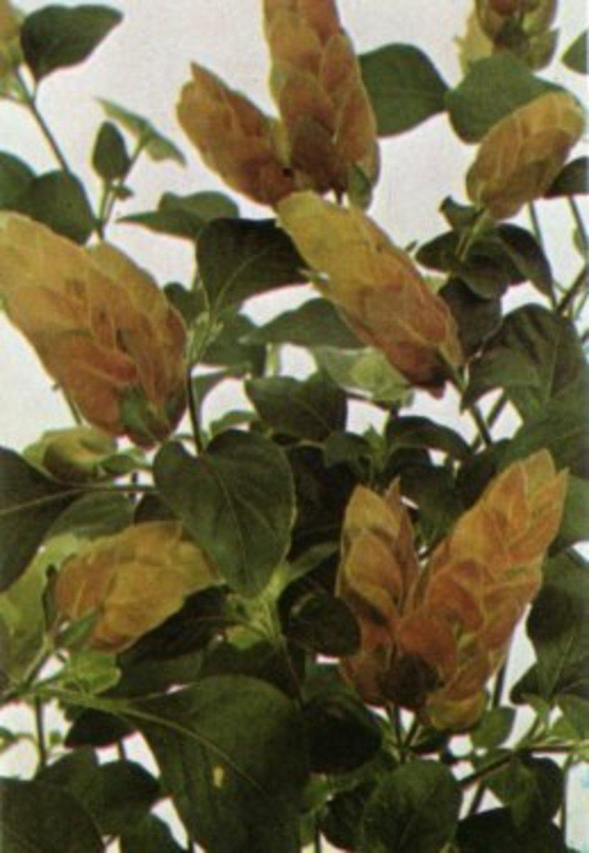 The yellow variety of Beloperone guttata.