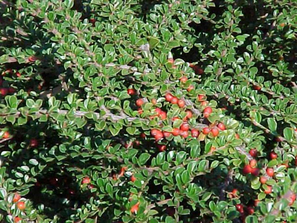 Cotoneaster, great to cover steep slopes.