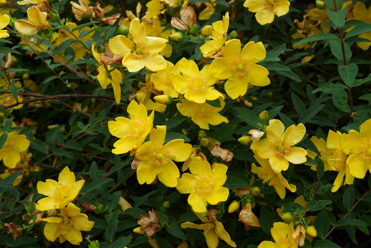 St. John's Wort has bright golden flowers.