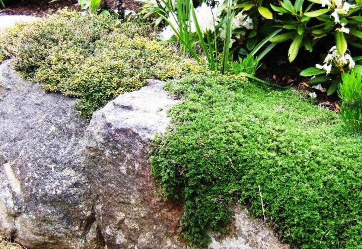 Two varieties of thyme, bushy and low-growing, spread over a rock wall.