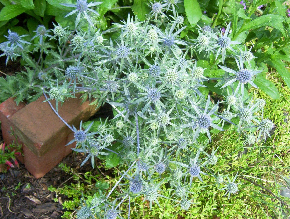 Sea Holly or Eryngium