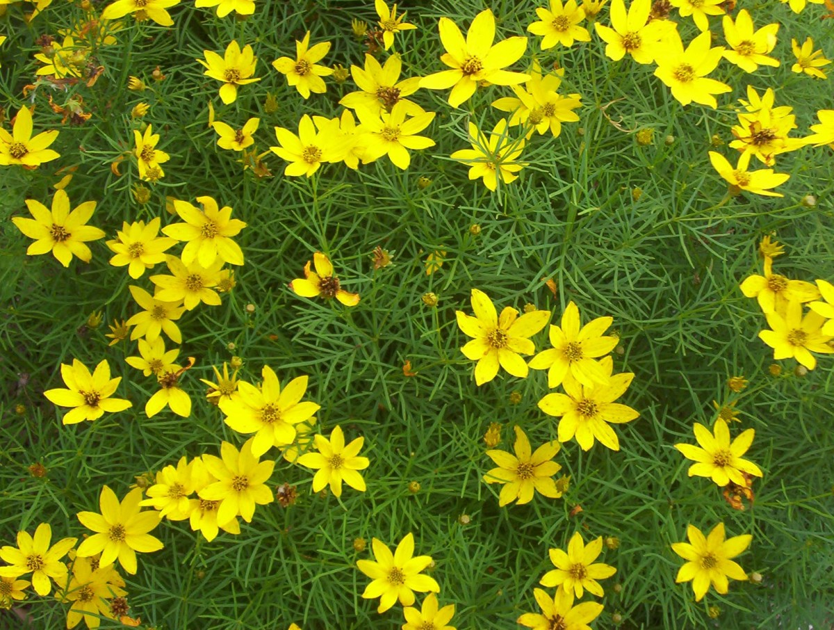 Tickseed or Coreopsis (photo by Dolores Monet)