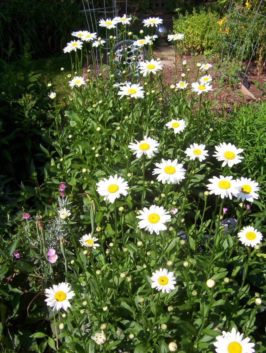 Shasta Daisy (photo by Dolores Monet)