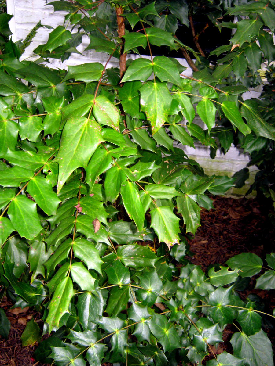 The shiny, leathery leaves of mahonia.