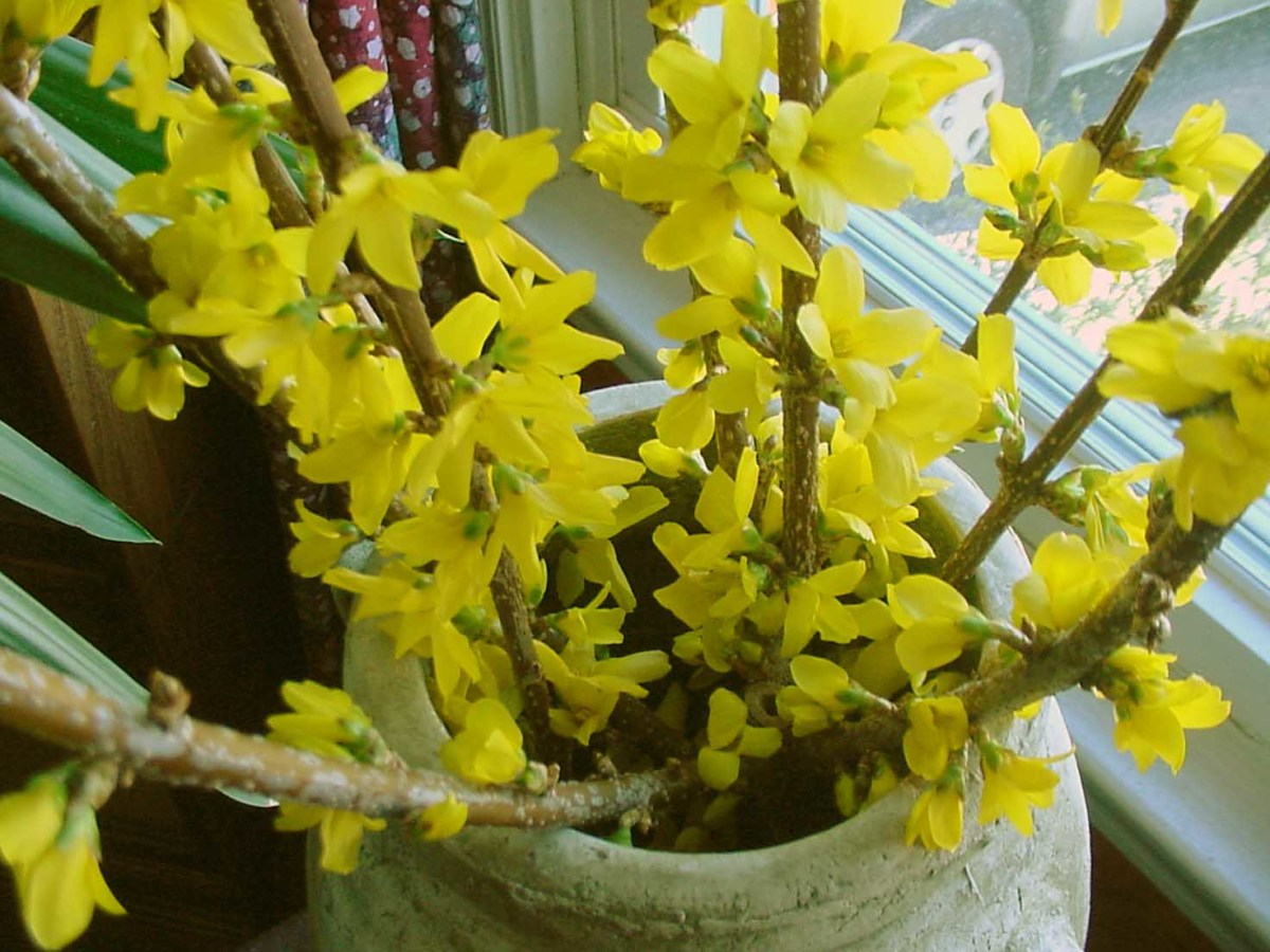 Forsythia can be brought in early to force blooms indoors.