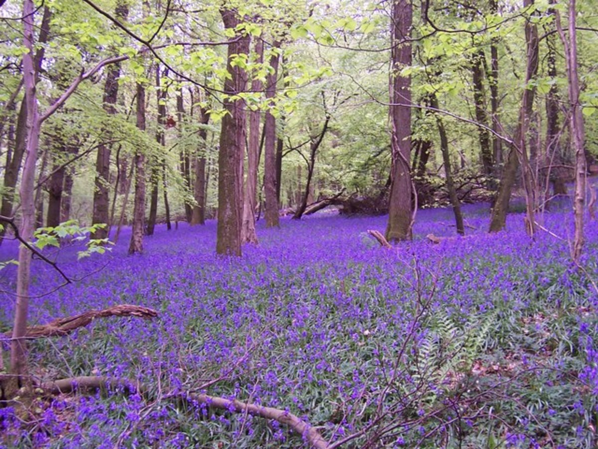 Bluebells create a bluish-purple ground cover in Bigsweir Wood