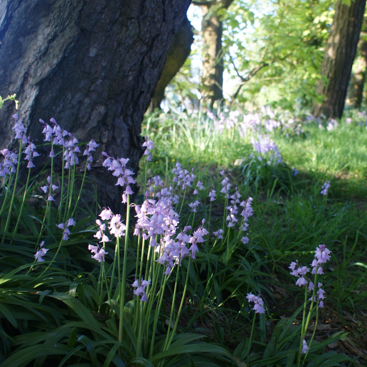 Bluebells growing in a shady hollow.
